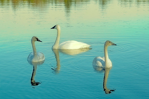 Michigan swans